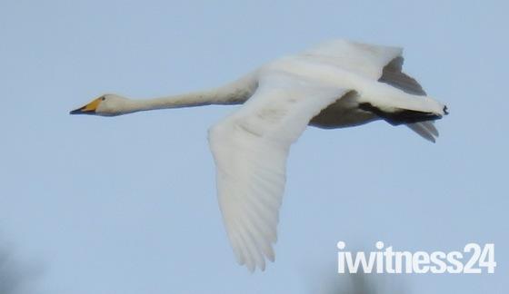 Whooper Swans over Blakeney Harbour