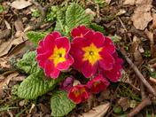 Spring Flowers- Polyanthus