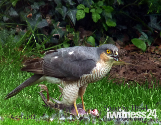 Sparrowhawk on pidgeon
