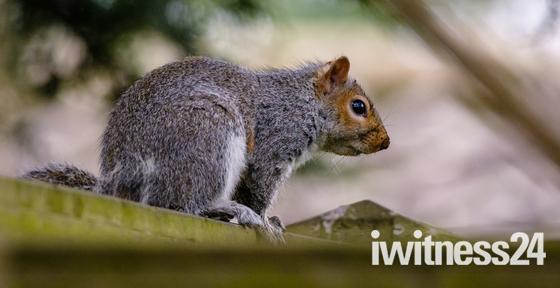 Caster Squirrel