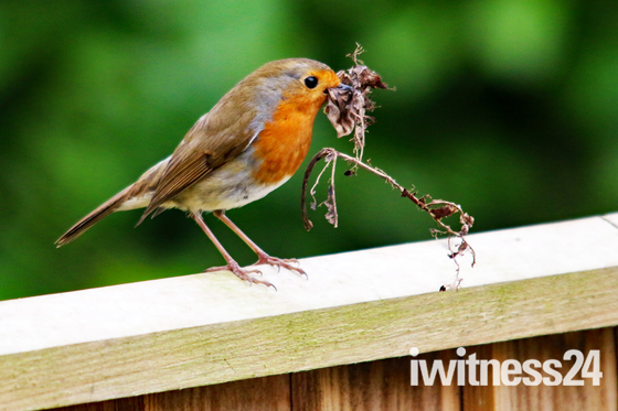 Busy little Robin
