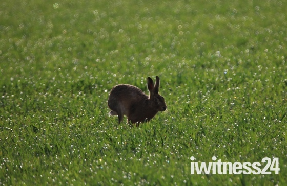 Hare in the Dew