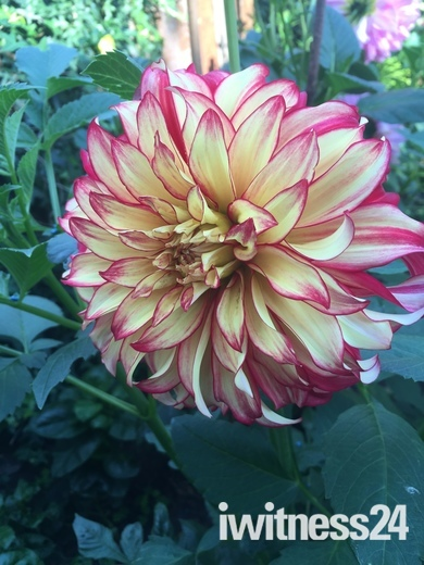 Dahlia and Lilly Flowers from my Garden in Goodmayes last year in July & Aug'16
