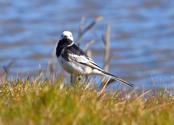 pied wagtail cley marsh
