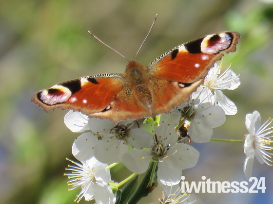 Peacock Butterfly on Blackthorn Blossom