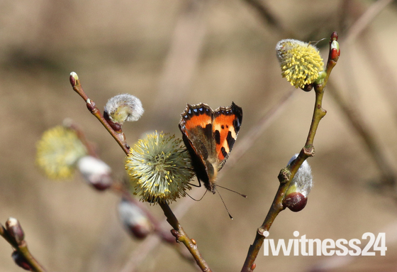 Small tortoiseshell butterfly on willow