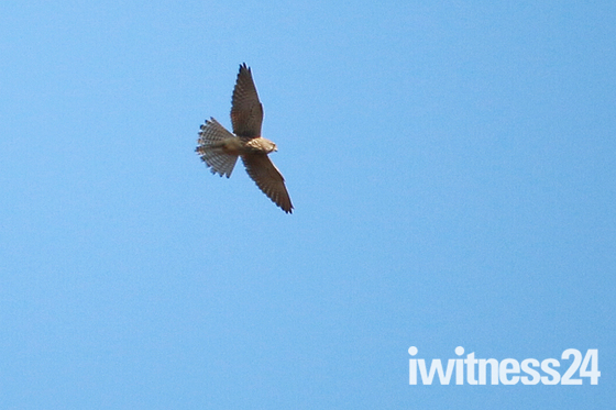 Kestrel riding the thermals.