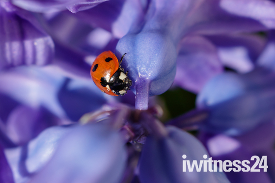 LadyBird on Hyacinth
