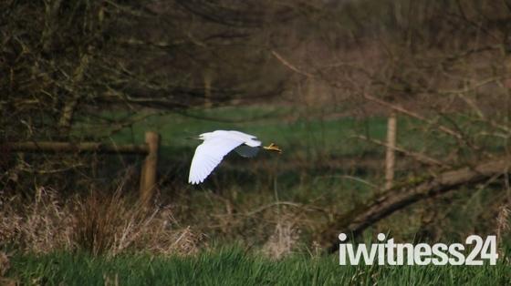 Wensum Egrets