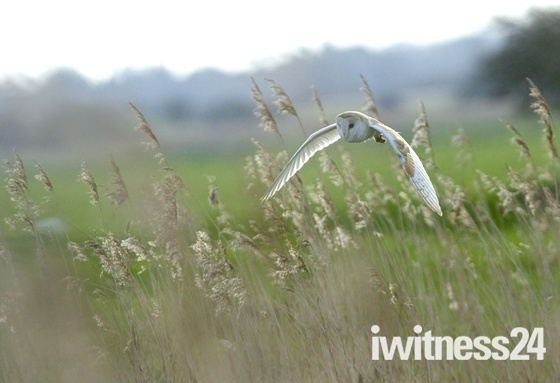 Barn Owl the Silent Hunter