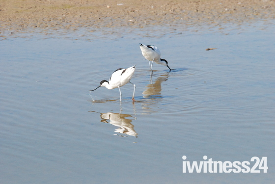 Avocets feeding at Minsmere