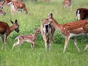 The Fallow Deer family