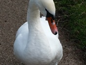 Very friendly swan
