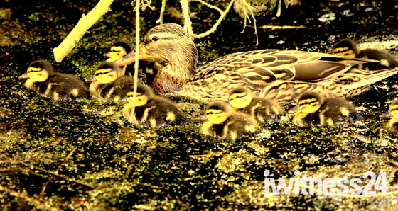 Family of ducklings 2