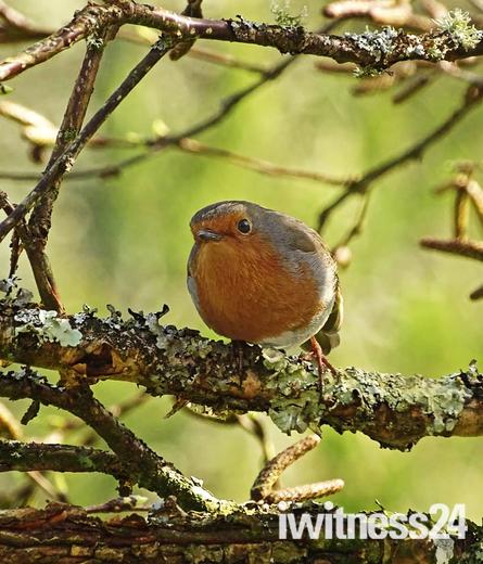 rosemoor robin