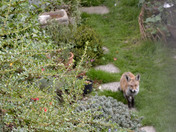 The stand-off - Fox Cub and Cat