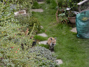 The stand-off - Fox Cub and Socks the Cat