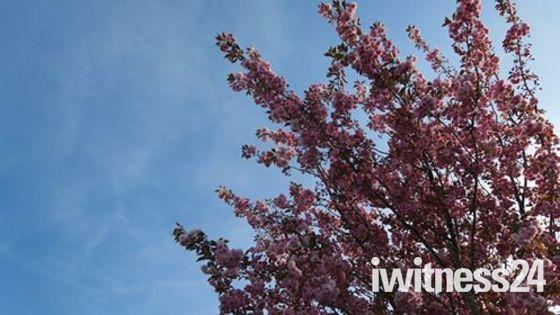 Beautiful blossoms in Barnstaple
