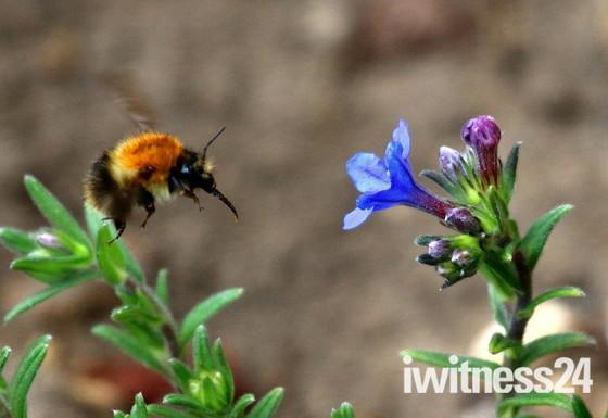 A Tree Bumblebee