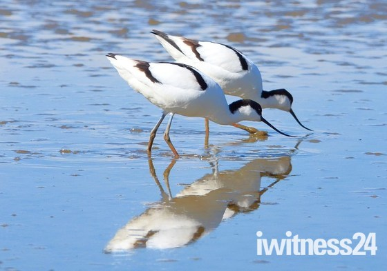avocets cley marsh