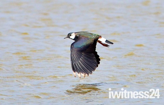 lapwing cley marsh