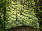 Bluebells, trees and wild garlic