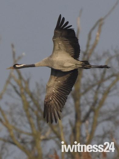 Crane,