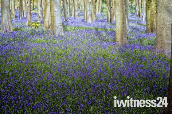 Blue bell wood at Cleeve