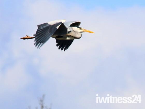 Geese, Ducks & Herons