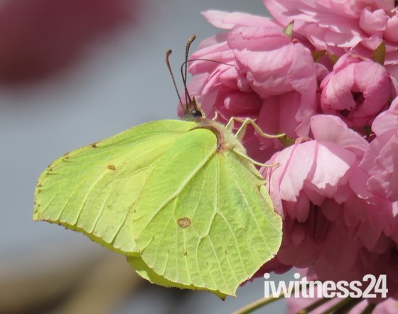 Brimstone on Cherry Blossom