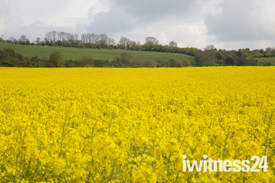 Weather,UK,Blue skies over a Rapeseed Field in Westerham Kent