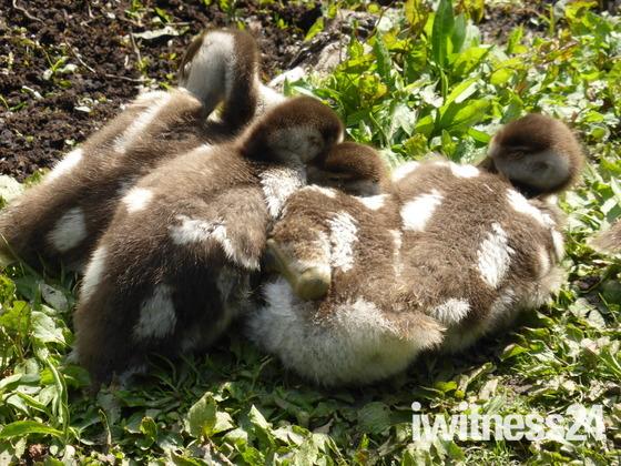 Ducklings enjoying their body heat.