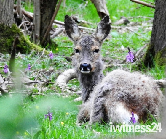 Deer resting amongst the orchids