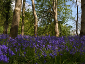 Bluebells on Woodbury Common