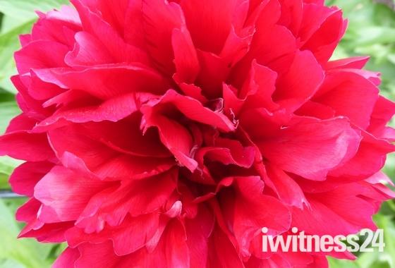 Growing life of Peony Flower