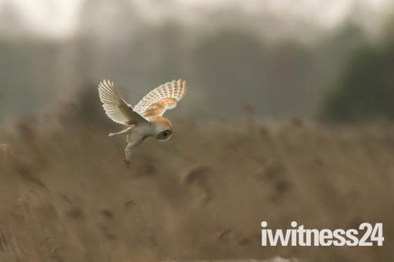 Barn Owl in Hunting Pose.