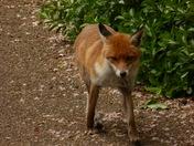 Fox in the Valentine Park Ilford
