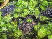 Asellus aquaticus