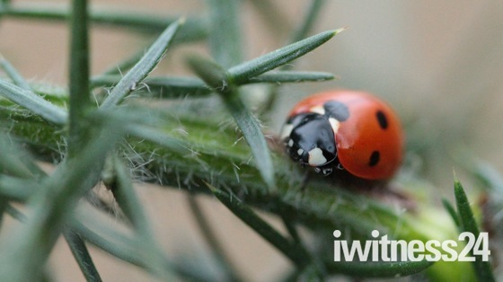 Lady bird hiding between gorse needles