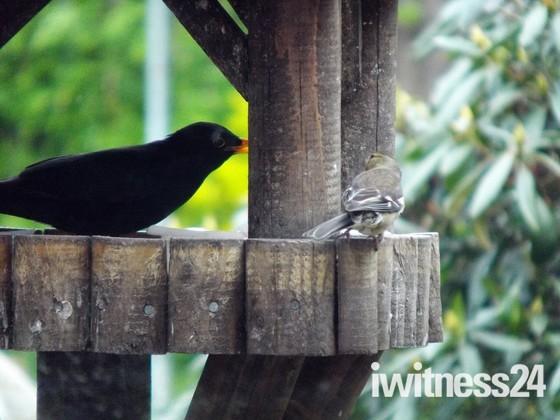 HA,HA,HA,HE,HE, HE,  MR BLACKBIRD YOU CAN NOT SEE ME !