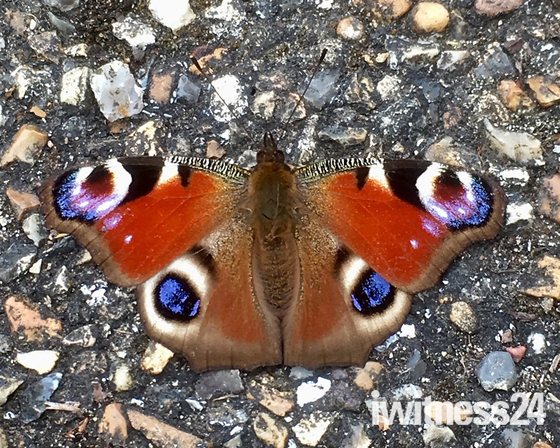 Peacock Butterfly sunbathing on path in Valentine Mansion Rose Garden