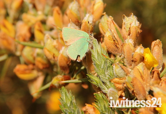 The Green Hairstreak Butterfly