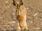 Funny face, Beautiful Brown Hare.