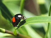 Black ladybird