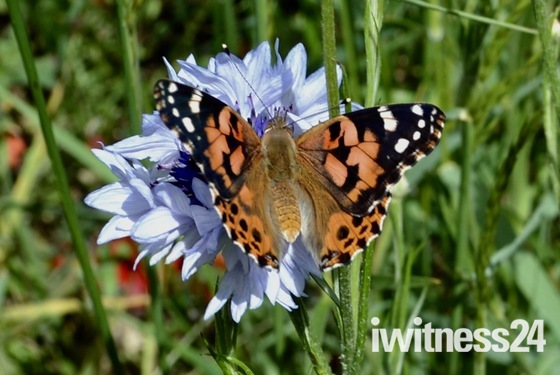 Butterflies released into wildflower garden in Aldborough Hatch