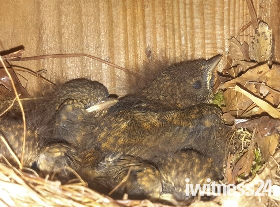 Robins about to fledge