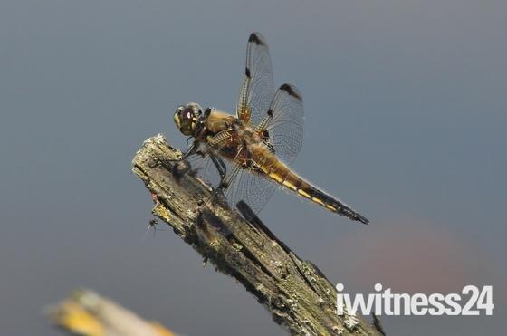 Dragonfly at Lackford Lakes