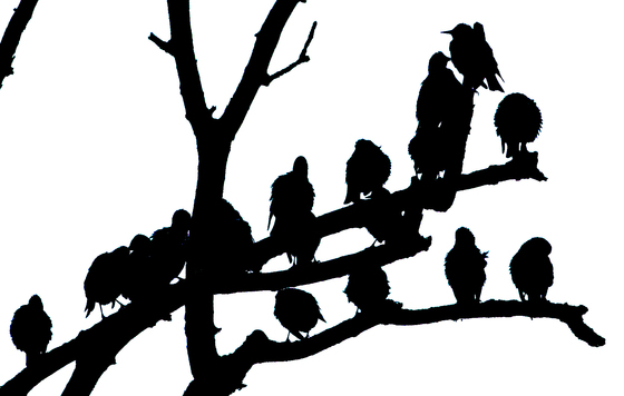 Starlings in silhouette.