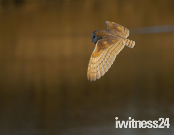 Barn owl at dusk