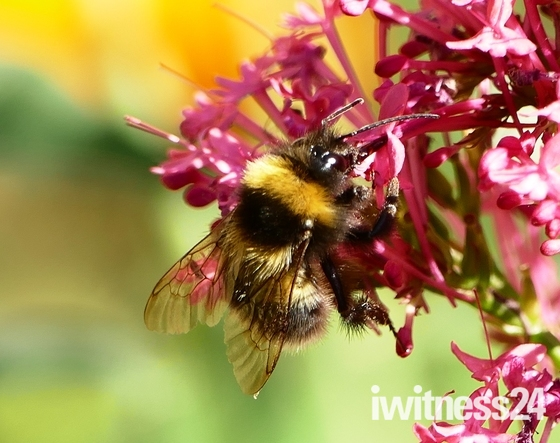 Bee collects necter from the flowers.